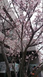 桜(当新田)